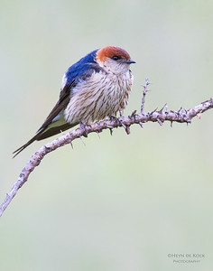 Greater Striped Swallow, Hobhouse, FS, SA, Jan 2014-6