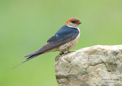 Greater Striped Swallow, Hobhouse, FS, SA, Dec 2013
