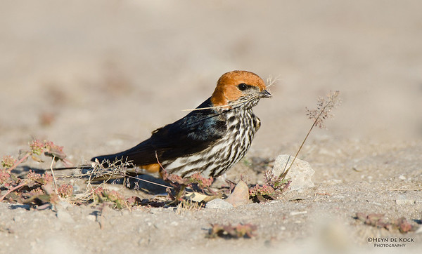 Lesser-Striped Swallow, Shakawe, Botswana, Jul 2011