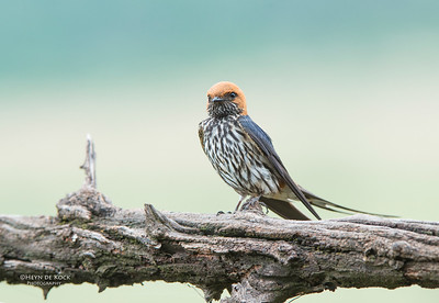 Lesser-striped Swallow, Pilansberg National Park, SA, Dec 2013-2-Recovered