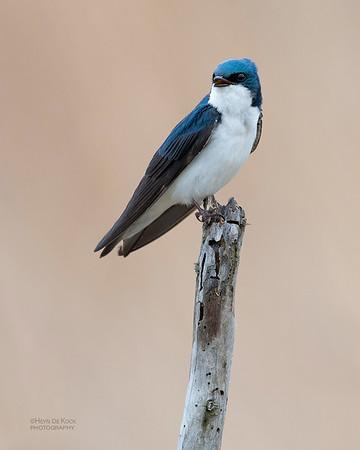 Tree Swallow, Burchard, NE, US, May 2018-4
