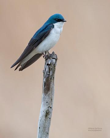Tree Swallow, Burchard, NE, US, May 2018-3