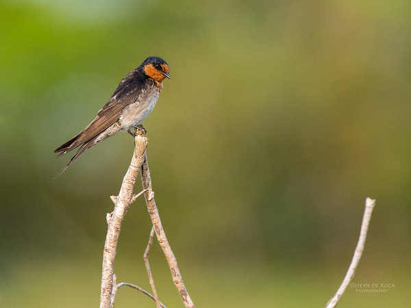 Welcome Swallow, Daintree, QLD, Dec 2014