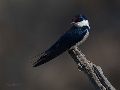 White-throated Swallow, Pilansberg NP, Sept 2016-1