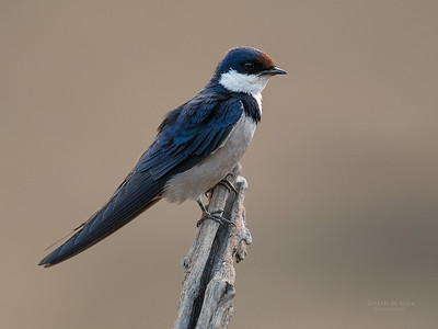 White-throated Swallow, Pilansberg NP, Sept 2016-3