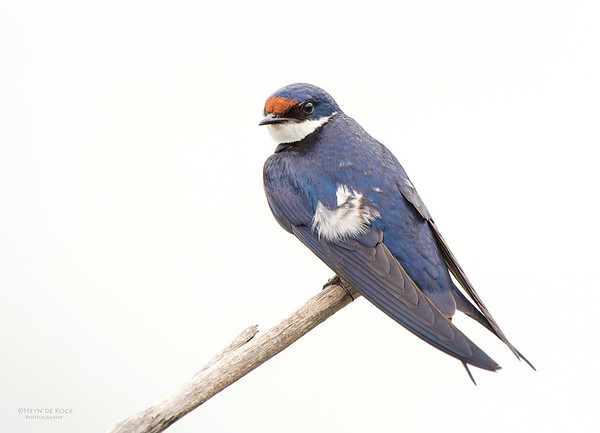 White-throated Swallow, Pilansberg National Park, SA, Dec 2013-1
