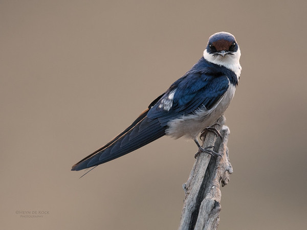 White-throated Swallow, Pilansberg NP, Sept 2016-4
