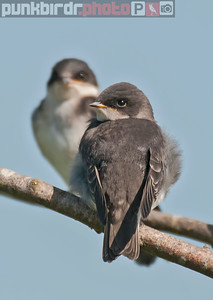 Tree Swallow juveniles (Tachycineta bicolor)