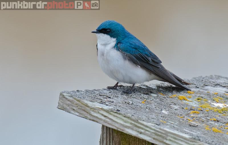 tree swallow (tachycineta bicolor)