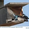 Tree Swallows A&N67972