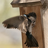 Tree Swallows A&N72133