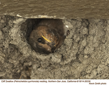 Cliff Swallow N26338