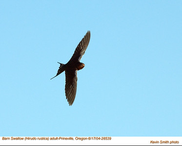 BarnSwallow28539