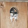Tree Swallows N72218