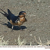 Barn Swallow M26036