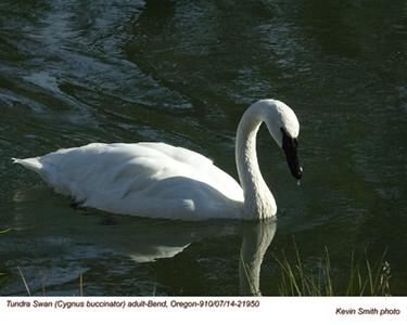 Tundra Swan A21950