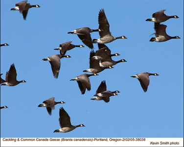Cackling&CommonCanada Geese38038