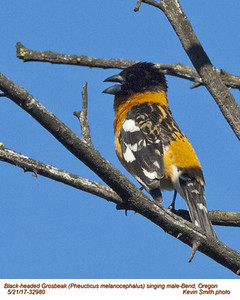 Black-headed Grosbeak M32980