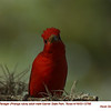 Summer Tanager M12799