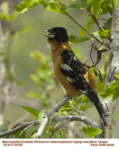 Black-headed Grosbeak M24339