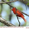 Summer Tanager M12805