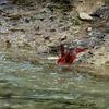 Northern Cardinal M12737