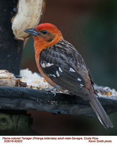 Flame-colored Tanager M82923