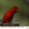 Summer Tanager M12800