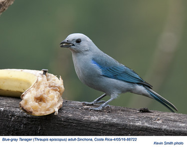 Blue-gray Tanager A88722