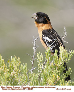 Black-headed Grosbeak M90427