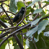 Spangle-cheeked Tanager A82107