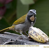 Buff-throated Saltator A88504