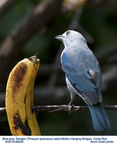 Blue-gray Tanager A86830