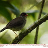 Black-headed Nighingale-Thrush A86793