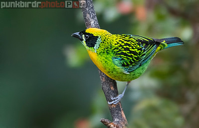 Green-and-Gold Tanager (Tangara schrankii)