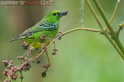 Yellow-bellied Tanager (Tangara xanthogastra)