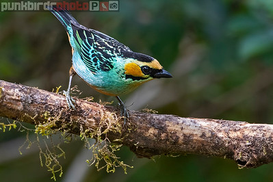 Golden-eared Tanager (Tangara chrysotis)