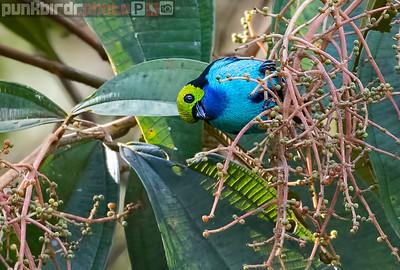 Paradise Tanager (Tangara chilensis)