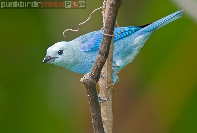 blue-grey tanager (thraupis episcopus nesophilus)