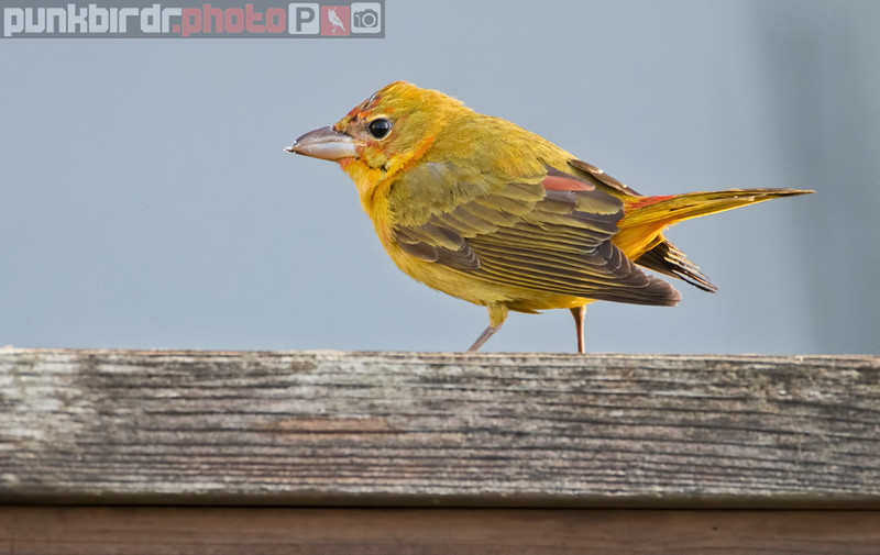 summer tanager (piranga rubra)