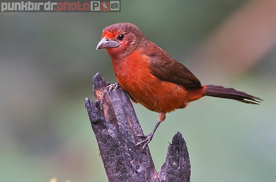 Silver-beaked Tanager female (Ramphocelus carbo)