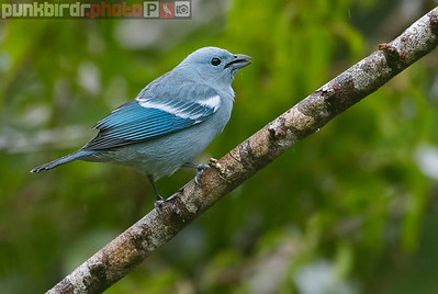 Blue-gray Tanager (Thraupis episcopus amazonia)