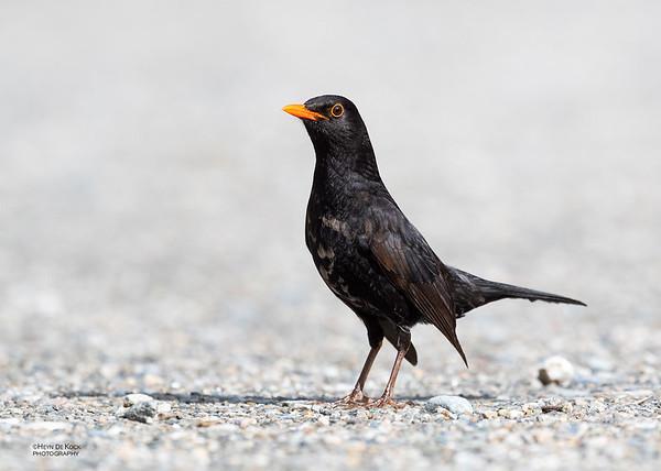 Common Blackbird, Franz Josef, SI, NZ, Aug 2018-1