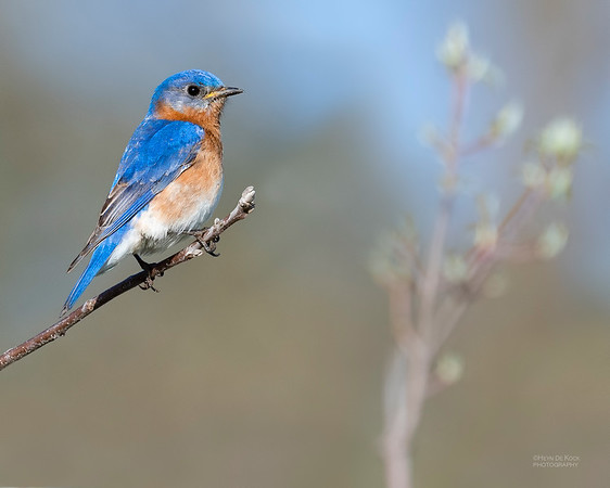 Eastern Bluebird, Standing Bear Lake, NE, USA, May 2018-1
