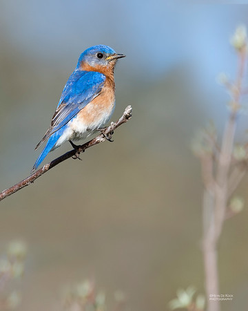 Eastern Bluebird, Standing Bear Lake, NE, USA, May 2018-2