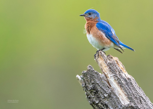 Eastern Bluebird, Standing Bear Lake, NE, USA, May 2018-5