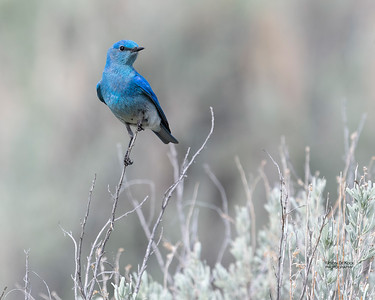 Mountain Bluebird, Yellowstone NP, WY, USA May 2018-2