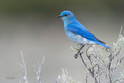 Mountain Bluebird, Yellowstone NP, WY, USA May 2018-1