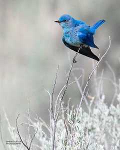 Mountain Bluebird, Yellowstone NP, WY, USA May 2018-4