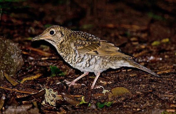 Russet-tailed Thrush, Lamingon NP, Qld, Aus